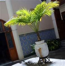 palmy kokosowe w domu porady leroy merlin