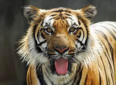 Oppamama Harimau Malaya Gambar