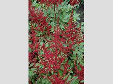 Red Sentinel Astilbe (Astilbe x arendsii 'Red Sentinel