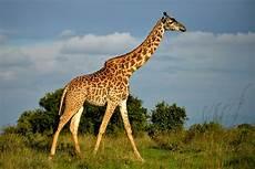 die giraffe giraffen infos im tier lexikon geolino