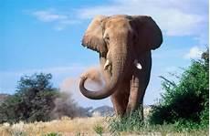 Malvorlage Afrikanischer Elefant 34 Afrikanischer Elefant Bilder Besten Bilder