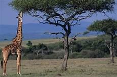 die giraffe 20 things you might not about giraffes mental floss