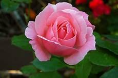 Gambar Bunga Mawar Adreff