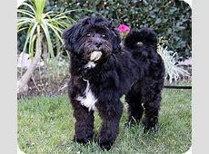 JACOB   Adopted Dog   Newport Beach, CA   Havanese/Poodle