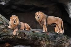jaguar st germain en laye allemagne deux lions deux tigres un jaguar et un ours