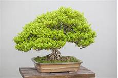 Bonsai Baum Kaufen - 5 tips for buying an indoor bonsai tree