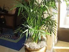 pot pour palmier exterieur palmier en pot comment le choisir et le cultiver