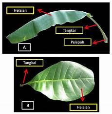 Klasifikasi Tumbuhan Berbiji Daun
