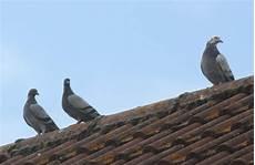 tauben vom balkon vertreiben tauben vertreiben warum ist das notwendig und wie