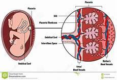 lacuna dei vasi diagramma umano di anatomia della placenta feto