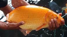 Ikan Dapat Hidup Tanpa Oksigen Peralatan Tambak