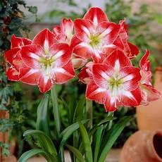 fiori bulbo enjoying your seasonal plants again vanderwees home garden
