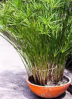 ziergräser im topf papyrus pflanze im topf pflanzen vermehrung pflanzen