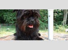 Affenpinscher   Hondenwoordenboek
