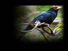 Wow 17 Gambar Burung Tuwu Gani Gambar