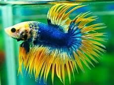 12 Tips Budidaya Ikan Cupang Hias Dan Cupang Aduan Agar