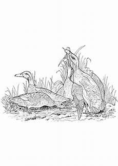 Ausmalbilder Natur Tiere Ausmalbild Enten In Der Natur Zum Ausdrucken