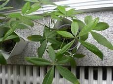 welche pflanze ist das giftige pflanzen f 252 r katzen