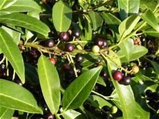 Kirschlorbeer Pflanzen Lorbeerkirsche Prunus Laurocerasus
