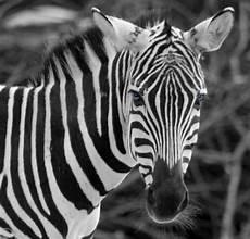 zebra bild zebra foto bild natur kreativ natur bilder auf