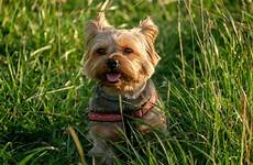 chiot a donner montpellier yorkie habits temperament and personality
