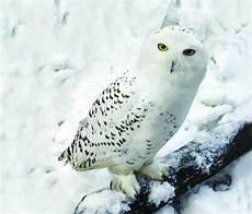 Snowy Owl Wallpaper Iphone