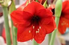 amaryllis pflege nach blüte amaryllis ritterstern 220 berwintern und pflege nach der bl 252 te