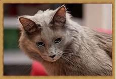 20 Gambar Kucing Anggora Selucu Apa Sih Kucing Satu Ini