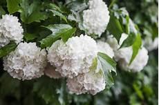 fiore a palla la palla di neve fiorisce il opulus di viburno con le