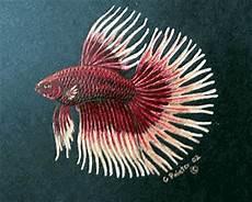 Gambar Ikan Cupang Dunia Studio Design Gallery