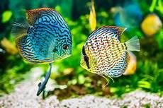 welche fische passen zusammen aquarium der richtige fischbesatz f 252 r ein aquarium haustier