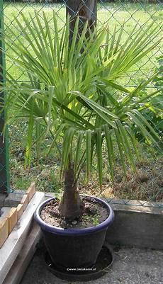 trachycarpus fortunei chinesische hanfpalme giesskanne at