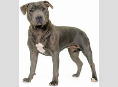 The Staffordshire Bull Terrier is a companion, protector