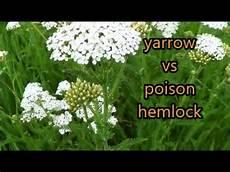 Yarrow Versus Poison Hemlock