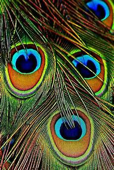 eye feathers of india blue peacock the it