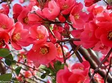 arbustes à fleurs rouges cognassier du japon un arbuste facile d 233 coratif et d 233 fensif