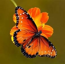 Gambar Kupu Kupu Yang Cantik Dan Indah Kumpulan Gambar