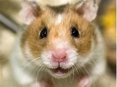 pflegeleichte haustiere zum kuscheln hamster sind empfindliche haustiere berlin de