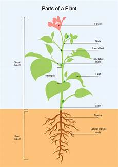 Diagram Of Plants 1 Wiring Diagram Source