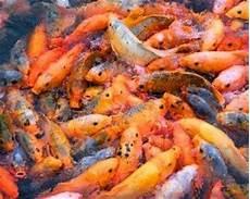 Gambar Jenis Pakan Makanan Ikan Hias Cupang Lele