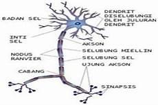 Anatomi Sistem Saraf Struktur Neuron Sistem Saraf Pusat