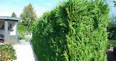 thuja hecke giftig thuja hecke giftig thuja der lebensbaum ist giftig und