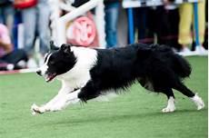 Ausmalbilder Hunde Border Collie Border Collie Hunde Info De