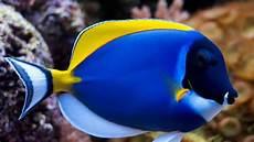 Gambar Ikan Hias Paling Cantik Gambar Ikan Hd