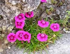 Fleur De Rocaille Tout Savoir Sur Les Fleurs De Rocaille