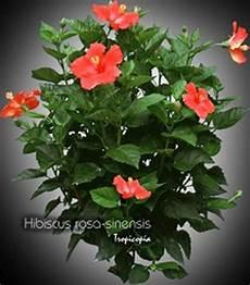 Hibiskus Pflege Zimmerpflanze - tropicopia house plant care and maintenance of