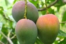 wann sind äpfel reif wann ist eine mango reif 187 daran erkennen sie es