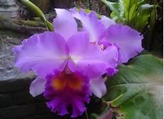 Bunga Anggerik Koleksi Gambar Bunga Orkid Yang Cantik