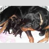chow-chow-german-shepherd-mix-black