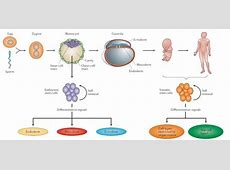 differences between adult and embryonic stem cells